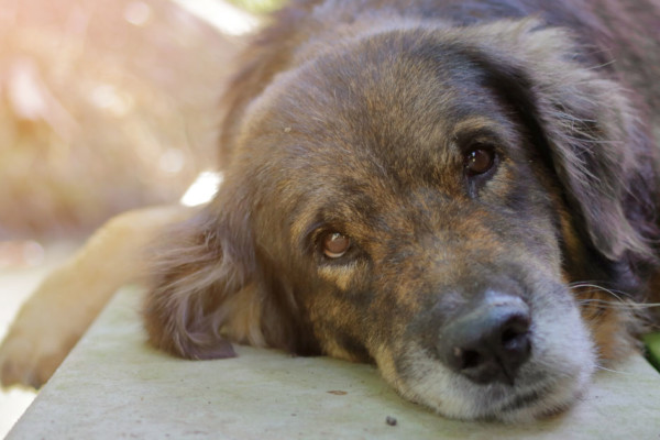 Taking Care of Dogs with Dementia