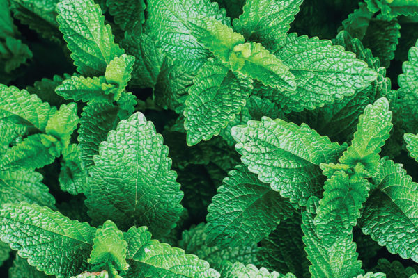 The Reasons to Fall in Love with Mint