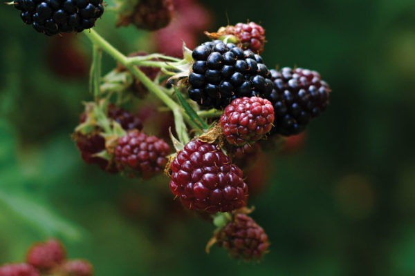 Plants and Berries Safe for Foraging