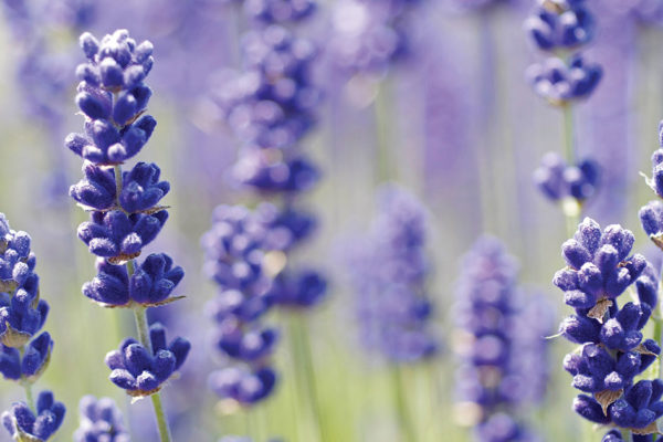 Lavender All Year Long